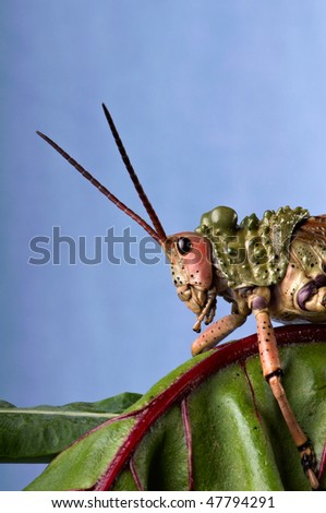 Green Milkweed Locust on a spinach leaf