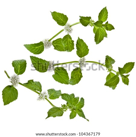 green mint leaves blooming isolated on white