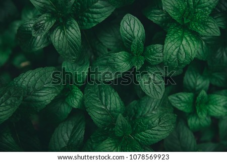 Green mint leaves pattern layout design. Ecology natural creative concept. Top view nature background with spearmint herbs.