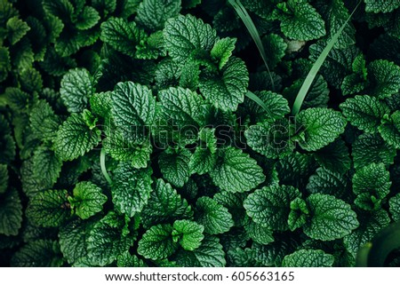 Green Mint Plant Grow Background.  #605663165