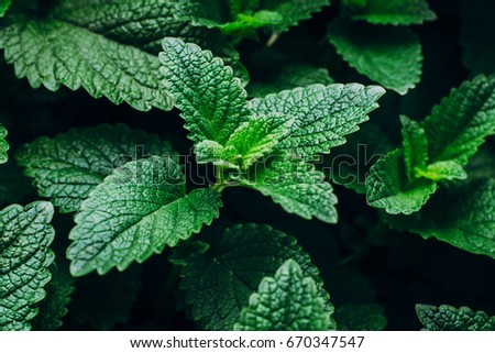 Green Mint Plant Grow Background. Menthol Texture #670347547