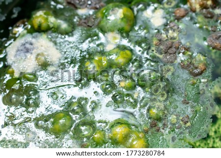 Green mold background. Mold on water background, fungus, bacteria , Mold growth on surface. polluted water. bubble the fungus.