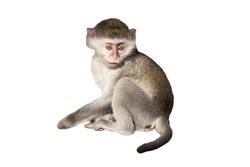 green monkey isolated on white background