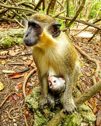 Green monkey mother and baby in a Barbados forest. Chlorocebus sabaeus, sabaeus monkey, callithrix monkey