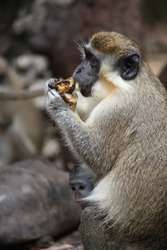 green monkey native to Barbados seen across Island. the green monkey they are friendly and regular in scavenge place routine