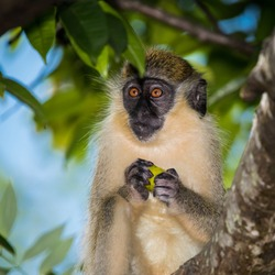 Green monkey portrait, Mullins, Barbados