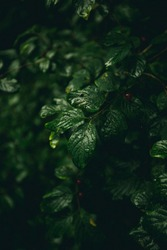 Green moody leaves with red berrys during rain, dark moody green forest.