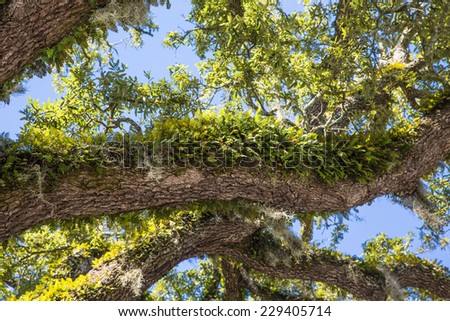 Green moss and ferns growing on limbs of a massive old live oak tree