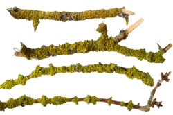 Green moss and lichen on tree branch set isolated on white background