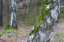 Green moss, Bryophyta on birch tree
