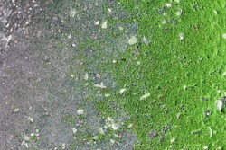 Green moss growing on the concrete wall.