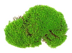 Green moss isolated on a white background, top view. Piece of green moss.