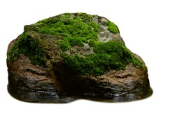 Green moss meadow on rock in the water isolated on white background. This has clipping path.