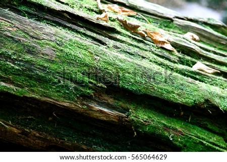 Stock Photo Green Moss on a fallen log in the Forest Woods   With Autumn Leaves Macro Detail Photograph