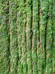 Green moss on a natural bark tree from a England forest
