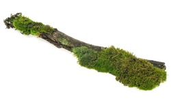 Green moss on rotten tree branch isolated on a white background