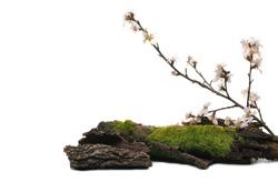 Green moss on tree bark with blooming fruit tree flowers in spring isolated on white background