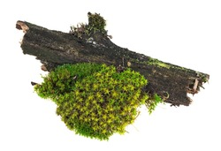 Green moss on tree branch isolated on white background