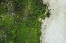 Green Moss on wall.