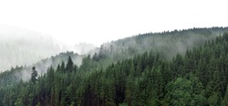 Green mountain forest in the fog. Evergreen spruce and pine trees on the slopes. Nature painting.