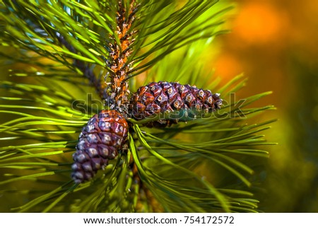 Green mountain pine (Pinus mugo) closeup with young cones on blurred colorful autumn forest background with beautiful bokeh. Christmas theme. #754172572