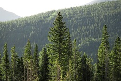 Green Mountain Trees in the Morning 02