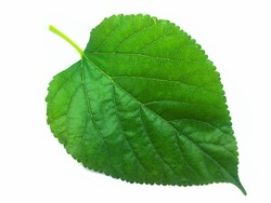 Green Mulberry leaf on a white background.