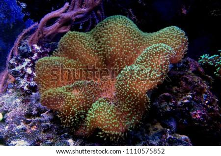 Green Mushroom Leather Coral (Sarcophyton sp.)
