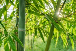 green natural asian background of bamboo shoot at bamboo garden in the morning sunrise.