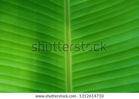 Green natural background. The structure of the palm leaf closeup.