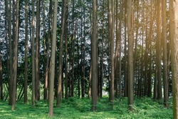 Green natural Hinoki Cypress forest where you can enjoy the summer cool.