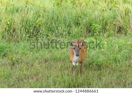 Green nature landscape view of meadow top the hill with sambar deer. Sizable national park with hiking, biking trails, Camping Ground, waterfalls & wildlife viewing. Khao Yai National Park. Thailand