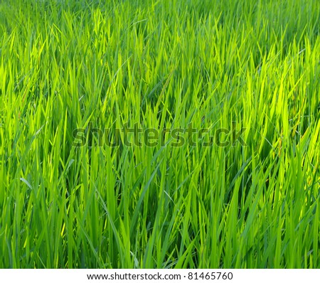 Green nature paddy field background, Bali, Indonesia.