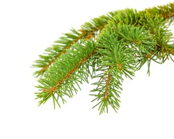 green needles on the spruce branch