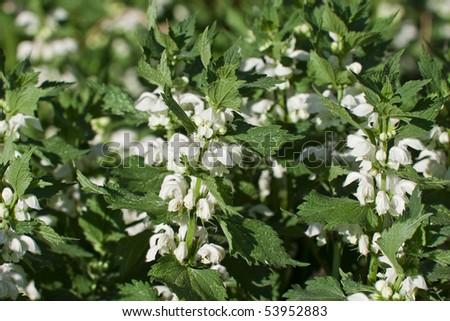 green nettle flowering