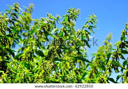 Green nettle plants on the blue sky background