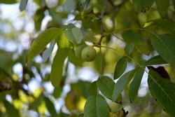 green nuts in the tree. Juglans regia plant in summer season