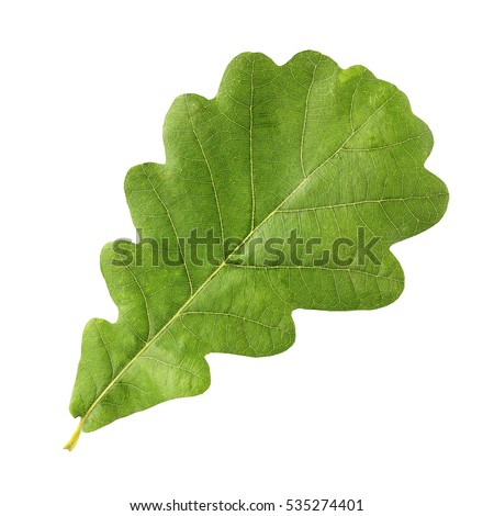 Green oak leaf isolated on a white background. #535274401