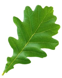 green oak leaf isolated on white background. herbarium, one young leaf. foliage, leaves of the tree.