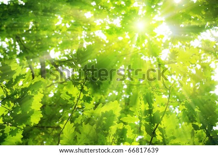 Green oak leaves, bright sun - stock photo