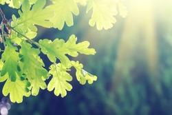 Green oak leaves on a branch in the sunlight