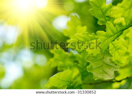 Green oak leaves with sun ray - stock photo