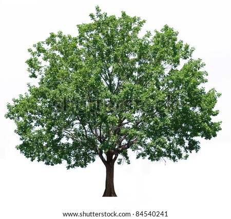 green oak tree isolated on white