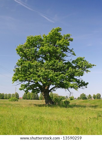 Green oak tree on a grass field