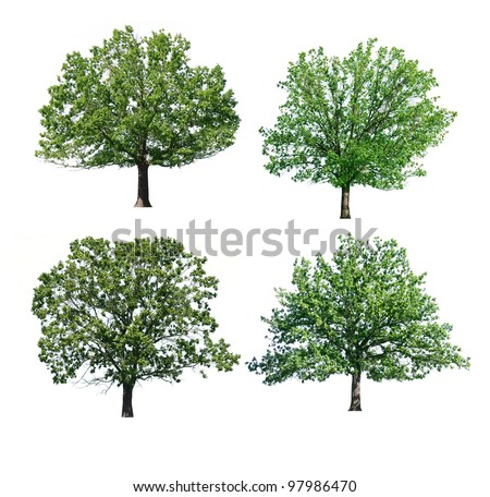 green oak trees isolated on white