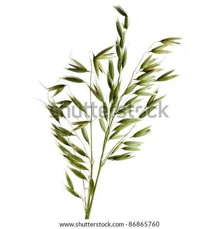 Green Oats plant on white background. Isolated - stock photo