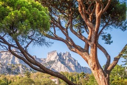 Green old cedar tree with long needles on a background of mountains in cloudy day. Cedrus libani, the cedar of Lebanon or Lebanese cedar