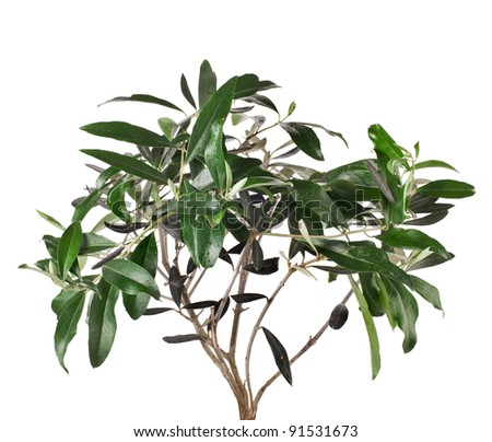 green olive tree isolated on white background - stock photo