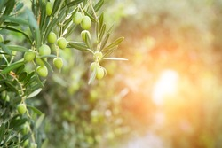 Green olives hang on branches. Olive Trees.