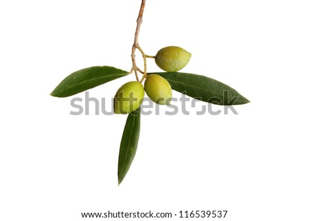 green olives on branch with leaves over white background